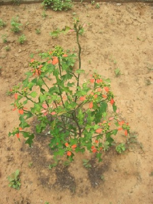(Euphorbia cyathophora - TMPA94)  @11 [ ] Copyright (2013) PHCDBS Paul Hebert Centre for DNA Barcoding and Biodiversity Studies