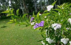 (Brunfelsia - MP5508)  @11 [ ] Copyright (2015) G D Khedkar Paul Hebert Centre For DNA Barcoding And Biodiversity Studies