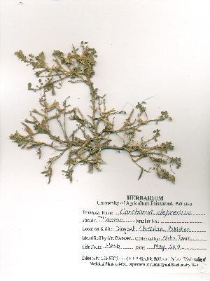 (Corchorus - DFC019)  @11 [ ] by-nc-sa (2014) Aisha Tahir Biodiversity Institute of Ontario