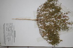 (Fagonia indica - DFC003)  @11 [ ] by-nc-sa (2014) Aisha Tahir Biodiversity Institute of Ontario