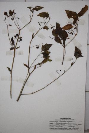 (Solanum nigrum - DFCXXX)  @11 [ ] CreativeCommons - Attribution Non-Commercial Share-Alike (2014) Aisha Tahir Biodiversity Institute of Ontario