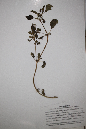 (Aizoaceae - DFC045)  @11 [ ] by-nc-sa (2014) Aisha Tahir Biodiversity Institute of Ontario