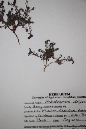 (Heliotropium - DGC024)  @11 [ ] by-nc-sa (2014) Aisha Tahir Biodiversity Institute of Ontario