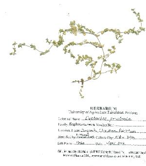(Euphorbia prostrata - DGC049)  @11 [ ] by-nc-sa (2014) Aisha Tahir Biodiversity Institute of Ontario