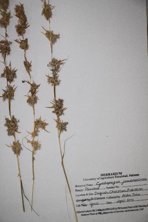 (Cymbopogon - DGC012)  @11 [ ] by-nc-sa (2014) Aisha Tahir Biodiversity Institute of Ontario