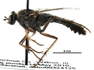 (Apioceridae - BIOUG28752-C06)  @11 [ ] CreativeCommons - Attribution Non-Commercial Share-Alike (2016) CBG Photography Group Centre for Biodiversity Genomics