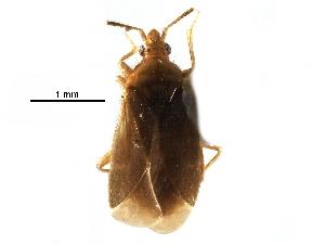 (Lasiochilidae - BIOUG28752-E10)  @11 [ ] CreativeCommons - Attribution Non-Commercial Share-Alike (2016) CBG Photography Group Centre for Biodiversity Genomics