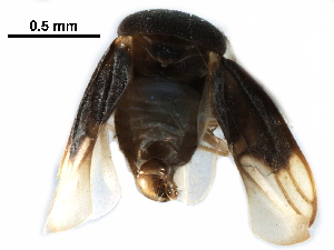 (Schizopteridae - BIOUG28752-E12)  @11 [ ] CreativeCommons - Attribution Non-Commercial Share-Alike (2016) CBG Photography Group Centre for Biodiversity Genomics