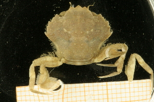 (Liocarcinus pusillus - UMBergen_NB_deca09)  @14 [ ] CreativeCommons - Attribution Non-Commercial Share-Alike (2012) Unspecified University of Bergen, Natural History Collections
