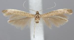 (Coleophora vestianella - TLMF Lep 06227)  @15 [ ] CreativeCommons - Attribution Non-Commercial Share-Alike (2011) Peter Huemer Tiroler Landesmuseum Ferdinandeum