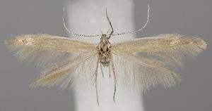 (Coleophora alticolella - TLMF Lep 06230)  @14 [ ] CreativeCommons - Attribution Non-Commercial Share-Alike (2011) Peter Huemer Tiroler Landesmuseum Ferdinandeum