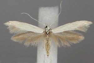 (Coleophora pennella - TLMF Lep 06238)  @15 [ ] CreativeCommons - Attribution Non-Commercial Share-Alike (2011) Peter Huemer Tiroler Landesmuseum Ferdinandeum