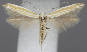 (Coleophora vulnerariae - TLMF Lep 06239)  @14 [ ] CreativeCommons - Attribution Non-Commercial Share-Alike (2011) Peter Huemer Tiroler Landesmuseum Ferdinandeum