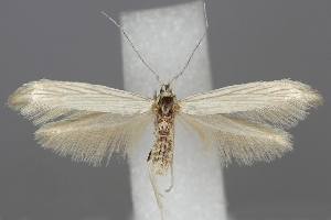 (Coleophora virgatella - TLMF Lep 06249)  @14 [ ] CreativeCommons - Attribution Non-Commercial Share-Alike (2011) Peter Huemer Tiroler Landesmuseum Ferdinandeum