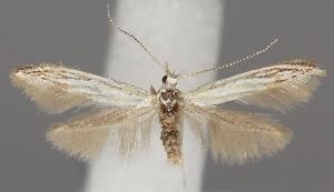 (Coleophora zelleriella - TLMF Lep 06250)  @15 [ ] CreativeCommons - Attribution Non-Commercial Share-Alike (2011) Peter Huemer Tiroler Landesmuseum Ferdinandeum
