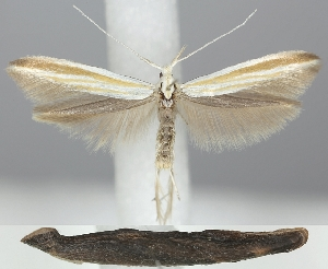 (Coleophora ditella - TLMF Lep 06277)  @15 [ ] CreativeCommons - Attribution Non-Commercial Share-Alike (2011) Peter Huemer Tiroler Landesmuseum Ferdinandeum