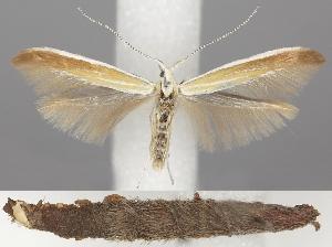 (Coleophora bilineatella - TLMF Lep 06281)  @15 [ ] CreativeCommons - Attribution Non-Commercial Share-Alike (2011) Peter Huemer Tiroler Landesmuseum Ferdinandeum