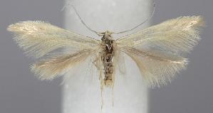 (Coleophora sylvaticella - TLMF Lep 06291)  @14 [ ] CreativeCommons - Attribution Non-Commercial Share-Alike (2011) Peter Huemer Tiroler Landesmuseum Ferdinandeum