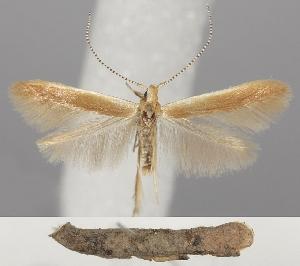 (Coleophora milvipennis - TLMF Lep 06293)  @15 [ ] CreativeCommons - Attribution Non-Commercial Share-Alike (2011) Peter Huemer Tiroler Landesmuseum Ferdinandeum