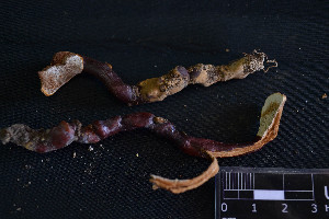 (Ganoderma lucidum - MEX-0071)  @11 [ ] CreativeCommons - Attribution Non-Commercial (2016) Emanuel Grassi UBA