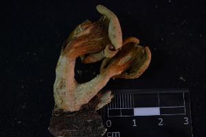 (Pleurotus albidus - MEX-0079)  @11 [ ] CreativeCommons - Attribution Non-Commercial (2016) Emanuel Grassi UBA