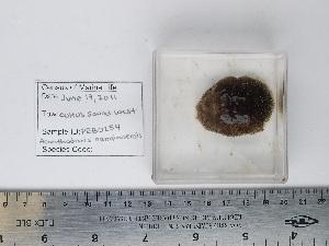 (Acanthodoris nanaimoensis - PEB0254)  @13 [ ] CreativeCommons - Attribution Non-Commercial Share-Alike (2011) DFO DFO
