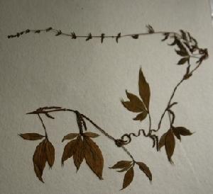 (Dioscorea pentaphylla - AU-DIO-4)  @11 [ ] Copyright (c) (2013) Neha Nimbhorkar Sant Gadge Baba Amaravati university