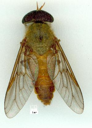 (Cydistomyia - gvc10862-1L)  @13 [ ] Copyright (2004) Unspecified Unspecified