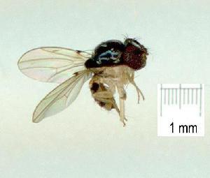 (Mycodrosophila aqua - gvc17035-1L)  @13 [ ] CreativeCommons - Attribution Non-Commercial (2011) Graeme V. Cocks Unspecified