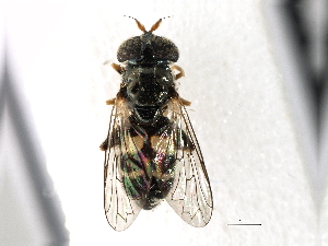 (SyrphidGC - gvc17790-1L)  @13 [ ] CreativeCommons - Attribution Non-Commercial Share-Alike (2012) BIO Photography Group Biodiversity Institute of Ontario