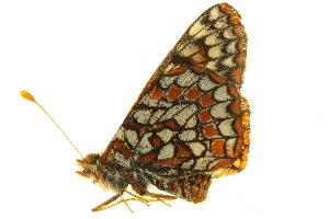 (Euphydryas chalcedona klotsi - BIOUG00716-C06)  @12 [ ] CreativeCommons - Attribution Non-Commercial Share-Alike (2011) BIO Photography Group Biodiversity Institute of Ontario