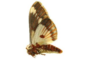 (Citheronia splendens sinaloensis - BIOUG00716-G05)  @15 [ ] CreativeCommons - Attribution Non-Commercial Share-Alike (2011) BIO Photography Group Biodiversity Institute of Ontario