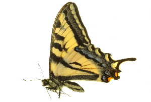(Papilio rutulus arizonensis - BIOUG00716-G08)  @13 [ ] CreativeCommons - Attribution Non-Commercial Share-Alike (2011) BIO Photography Group Biodiversity Institute of Ontario