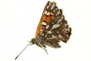 (Apodemia virgulti - BIOUG00719-B05)  @13 [ ] CreativeCommons - Attribution Non-Commercial Share-Alike (2011) BIO Photography Group Biodiversity Institute of Ontario