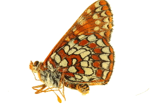 (Euphydryas chalcedona chalcedona - BIOUG00719-D10)  @13 [ ] CreativeCommons - Attribution Non-Commercial Share-Alike (2011) BIO Photography Group Biodiversity Institute of Ontario