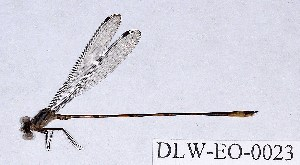 (Heteragrionidae - DLW-EO-0023)  @14 [ ] CreativeCommons - Attribution Non-Commercial (2014) William Haber University of Connecticut, Storrs, CT