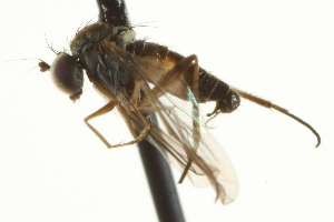 (Neoparentia - CNC DIPTERA 163203)  @12 [ ] CreativeCommons - Attribution Non-Commercial Share-Alike (2012) CNC/BIO Photography Group Biodiversity Institute of Ontario