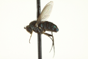 (Paraclius - CNC DIPTERA 163649)  @13 [ ] CreativeCommons - Attribution Non-Commercial Share-Alike (2012) CNC/BIO Photography Group Biodiversity Institute of Ontario