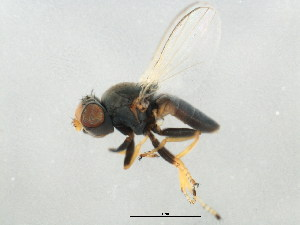 (Cryptochetidae - BIOUG00800-G04)  @11 [ ] CreativeCommons - Attribution Non-Commercial Share-Alike (2011) BIO Photography Group Biodiversity Institute of Ontario