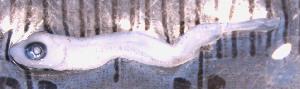 (Prosopium cylindraceum - DPLHF8K)  @11 [ ] CreativeCommons - Attribution Non-Commercial Share-Alike (2014) Lauren Overdyk University of Guelph