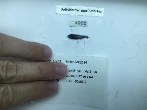 (Bolinichthys supralateralis - DPND 4200)  @11 [ ] Copyright (2016) Ron Eytan Texas A&M University at Galveston