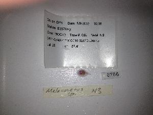 (Melanocetus sp - RIE 0766)  @11 [ ] Copyright (2035) Ron Eytan Texas A&M University at Galveston