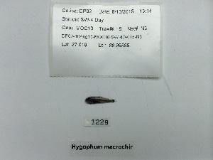 (Hygophum macrochir - DPND 1229)  @11 [ ] Copyright (2015) Ron Eytan Texas A&M University at Galveston