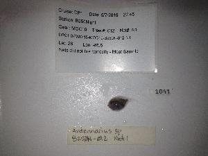 (Antennarius sp - RIE 1041)  @11 [ ] Copyright (2109) Ron Eytan Texas A&M University at Galveston