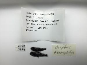 (Diaphus termophilus - DPND 3273)  @11 [ ] Copyright (2015) Ron Eytan Texas A&M University at Galveston