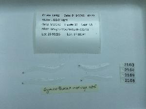 (Gymnothorax funebris - DPND 2075)  @11 [ ] Copyright (2015) Ron Eytan Texas A&M University at Galveston