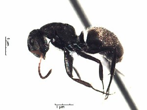 (Camponotus EC08 - PBA0503)  @13 [ ] Creative Commons (2015) David Donoso UTPL