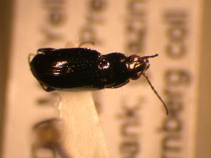 (Bembidion nitidum - JBWM0311639)  @12 [ ] Copyright (2008) J.B. Wallis Museum of Entomology, University of Manitoba J.B. Wallis Museum of Entomology, University of Manitoba