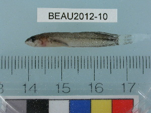 (Stichaeinae - BEAU2012-10)  @15 [ ] Copyright (2012) C. W. Mecklenburg Point Stephens Research