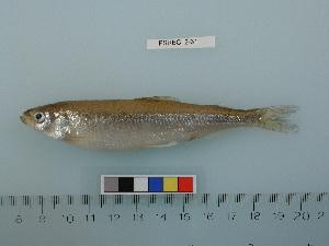 (Hypomesus - PSRBC12-31)  @14 [ ] Copyright (2012) C. W. Mecklenburg Point Stephens Research